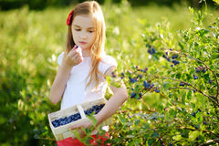 Cute little girl picking fresh berries on organic blueberry farm on warm and sunny summer day Stock Image