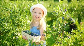 Cute little girl picking fresh berries on organic blueberry farm on warm and sunny summer day. Fresh healthy organic food for royalty free stock photos