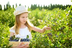 Cute little girl picking fresh berries on organic blueberry farm on warm and sunny summer day. Fresh healthy organic food for stock image