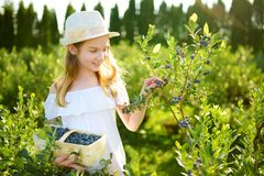 Cute little girl picking fresh berries on organic blueberry farm on warm and sunny summer day. Fresh healthy organic food for stock images