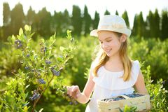 Cute little girl picking fresh berries on organic blueberry farm on warm and sunny summer day. Fresh healthy organic food for stock photography