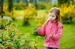 Cute little girl picking raspberries on autumn day Stock Photos