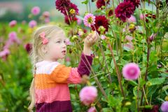 Cute little girl playing in blossoming dahlia field. Child picking fresh flowers in dahlia meadow on sunny summer day. Stock Image