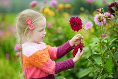 Cute little girl playing in blossoming dahlia field. Child picking fresh flowers in dahlia meadow on sunny summer day. Stock Images