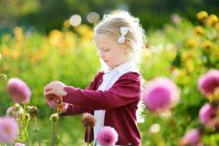 Cute little girl playing in blossoming dahlia field. Child picking fresh flowers in dahlia meadow on sunny summer day. Kid choosing flowers for her mother royalty free stock photography