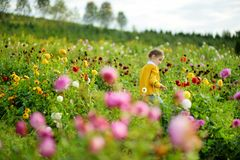 Cute little girl playing in blossoming dahlia field. Child picking fresh flowers in dahlia meadow on sunny summer day Stock Photos