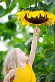 Cute little girl reaching to a sunflower Stock Photography