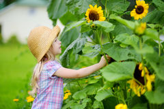 Cute little girl reaching to a sunflower in summer field Royalty Free Stock Images