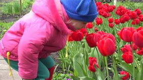 Cute Little Girl Smelling Red Tulipes. 4K UltraHD, UHD stock footage