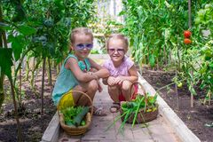Cute little girls collect crop cucumbers in the Royalty Free Stock Photo