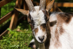Cute little goat Stock Photos
