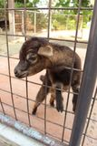 Cute little goat on the farm royalty free stock images
