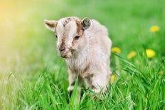 Cute little goat Stock Images