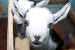 Cute little goat smiling Royalty Free Stock Photo