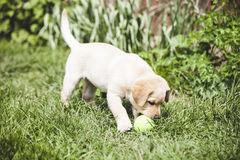 Cute little golden retriever puppy Royalty Free Stock Images