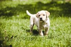 Cute little golden retriever puppy Stock Image