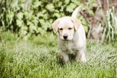 Cute little golden retriever puppy Stock Photos