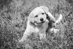 Cute little golden retriever puppy Royalty Free Stock Photography