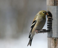 Cute Little Goldfinch Stock Image