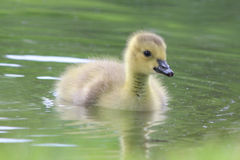 Cute Little Gosling Stock Images