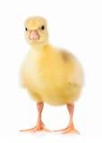 Cute little gosling Stock Photo