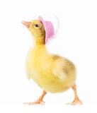 Cute little gosling Royalty Free Stock Images