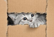 Cute little gray cat looking through cardboard hole royalty free stock photo