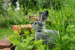 Cute, little, gray rabbit. A cute, gray rabbit sits in a herb bed of a garden Royalty Free Stock Image