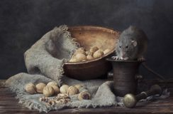 Cute little gray rat eating walnuts on a metal mortar. Still life in vintage style with a live rat. Chinese New Year symbol.  royalty free stock photography