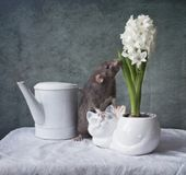Cute little gray rat sniffing white hyacinth flower. Chinese New Year symbol.  royalty free stock images