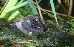 A cute Little Grebe Tachybaptus ruficollis chick cuddled up in the feathers on the back of one of its parents with its head poki Stock Images