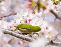 Cute little green bird eating on cherry blossom flowers. stock photos