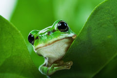Cute little green frog peeking out from behind the leaves stock image