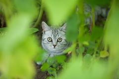 Cute little grey cat hiding outdoors. Beautiful domestic little kitten hiding in the grass Stock Images