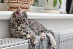 Cute little grey kitten Royalty Free Stock Photography