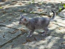Cute little grey kitten Stock Images