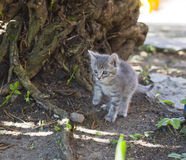 Cute little grey kitten Stock Photo