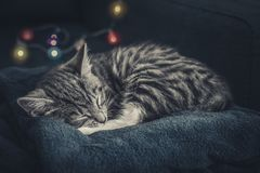 Cute little grey kitten sleeping. On blue sofa with christmas lights on thr background Royalty Free Stock Photography