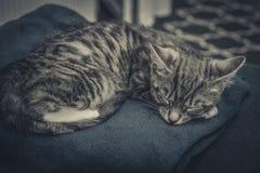 Cute little grey kitten. Sleeping on blue sofa closeup Stock Photography