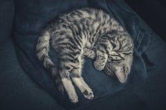 Cute little grey kitten sleeping on blue sofa. Top view Royalty Free Stock Photos
