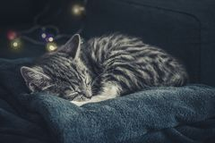 Cute little grey kitten sleeping. On blue sofa with christmas lights on thr background Stock Photography