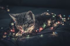 Cute little grey kitten sleeping. On blue sofa with christmas lights on thr background Royalty Free Stock Photo