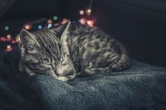 Cute little grey kitten sleeping. On blue sofa with christmas lights on thr background Royalty Free Stock Photos