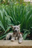 Cute little grey puppy with collar sitting in grass and biting l. Eashes. sweet doggy playing outdoors. homeless dog looking for home. adoption concept. funny royalty free stock photography