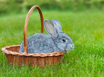 Cute little grey rabbit in the basket on green grass Stock Photography