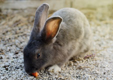 Cute little grey rabbit in a paddock. Royalty Free Stock Photo