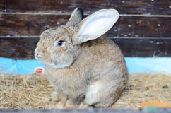 Cute little grey rabbit in a paddock. Royalty Free Stock Photography