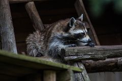 Cute raccoon resting in his shelter royalty free stock photos