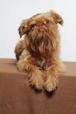 Cute little griffon dog. Studio picture Stock Image