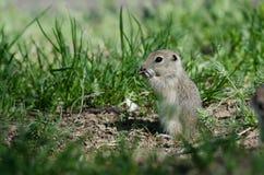 Cute Little Ground Squirrel Enjoying a Snack. Adorable Little Ground Squirrel Enjoying a Snack stock photo